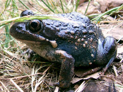 Image of Banjo Frog