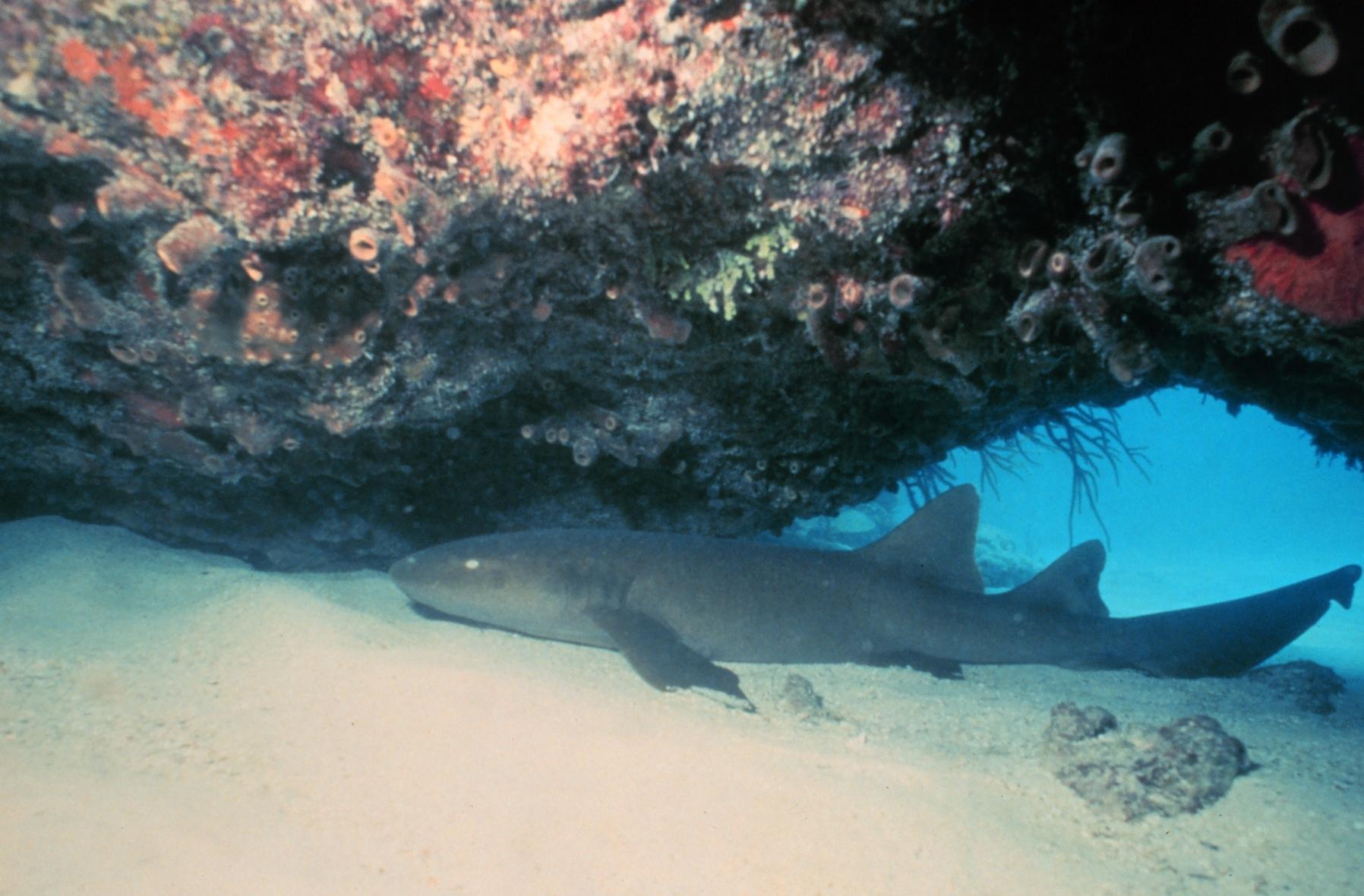 Image of Nurse Shark
