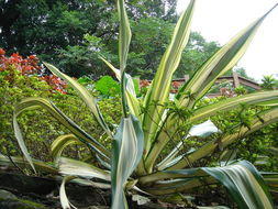 Image of Mauritius hemp