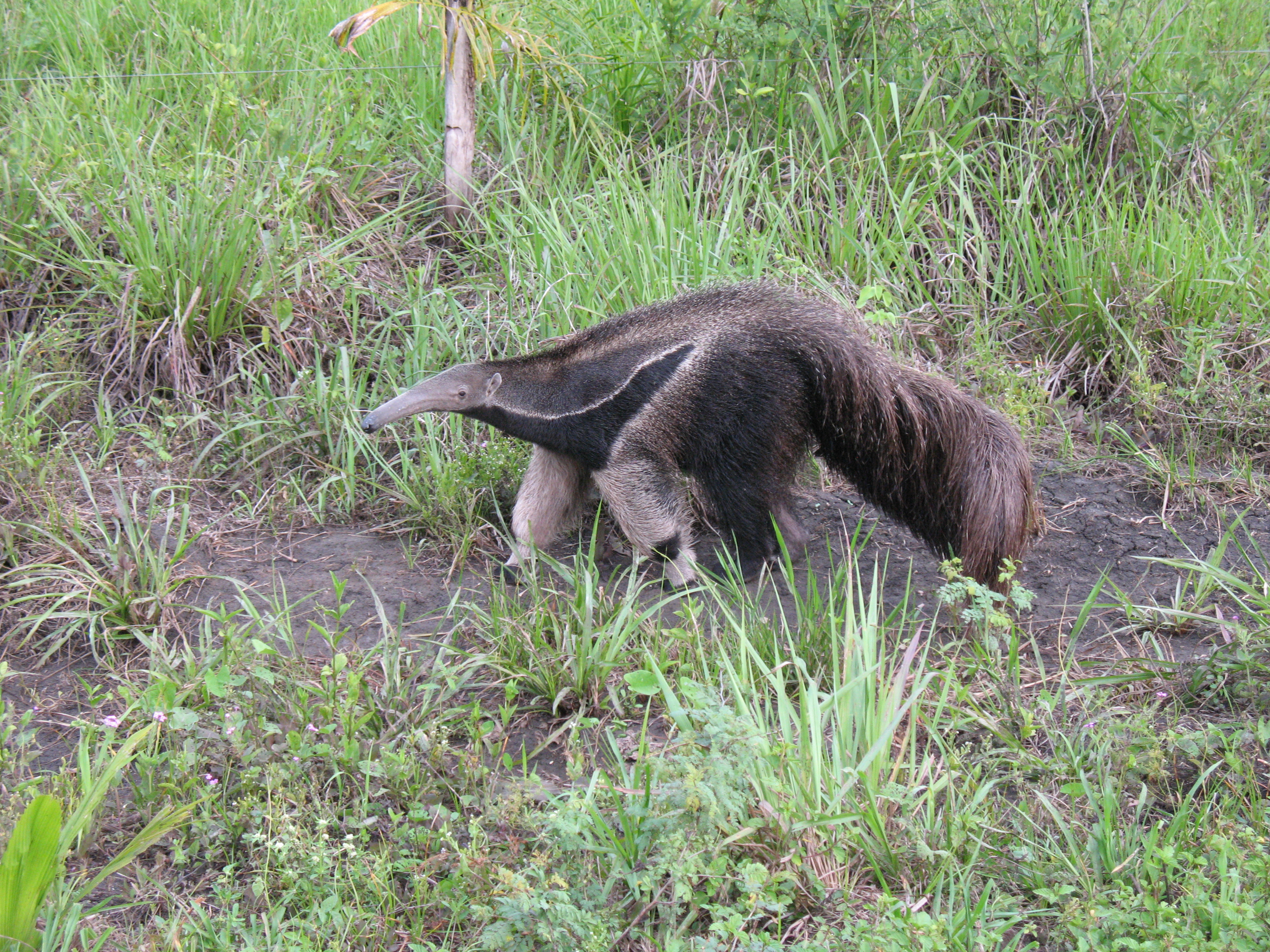 Image of Giant Anteater