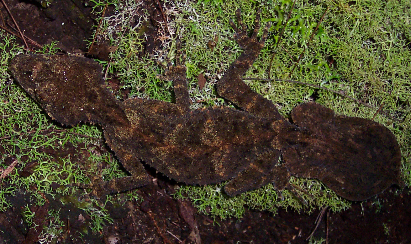 Image of Southern Leaf-tailed Gecko