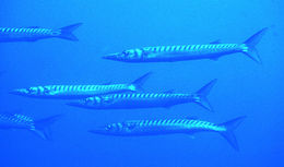 Image of Yellow Barracuda