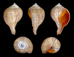 Image of chank shell