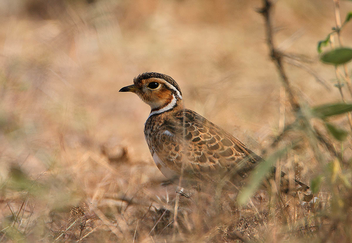 Image of Three-banded Courser