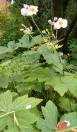 Image of <i>Anemone hupehensis</i>