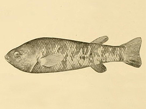 Image of Ash Meadows Killifish