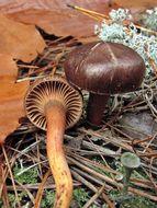 Image of Wine-cap Chroogomphus
