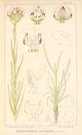 Image of Ceratandra