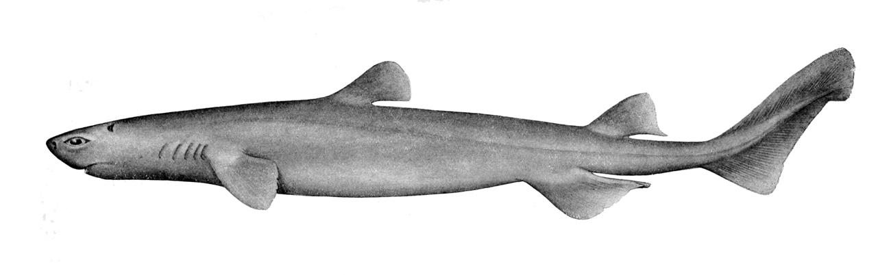 Image of Kitefin Shark