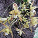 Image of Channelled boat-lip orchid