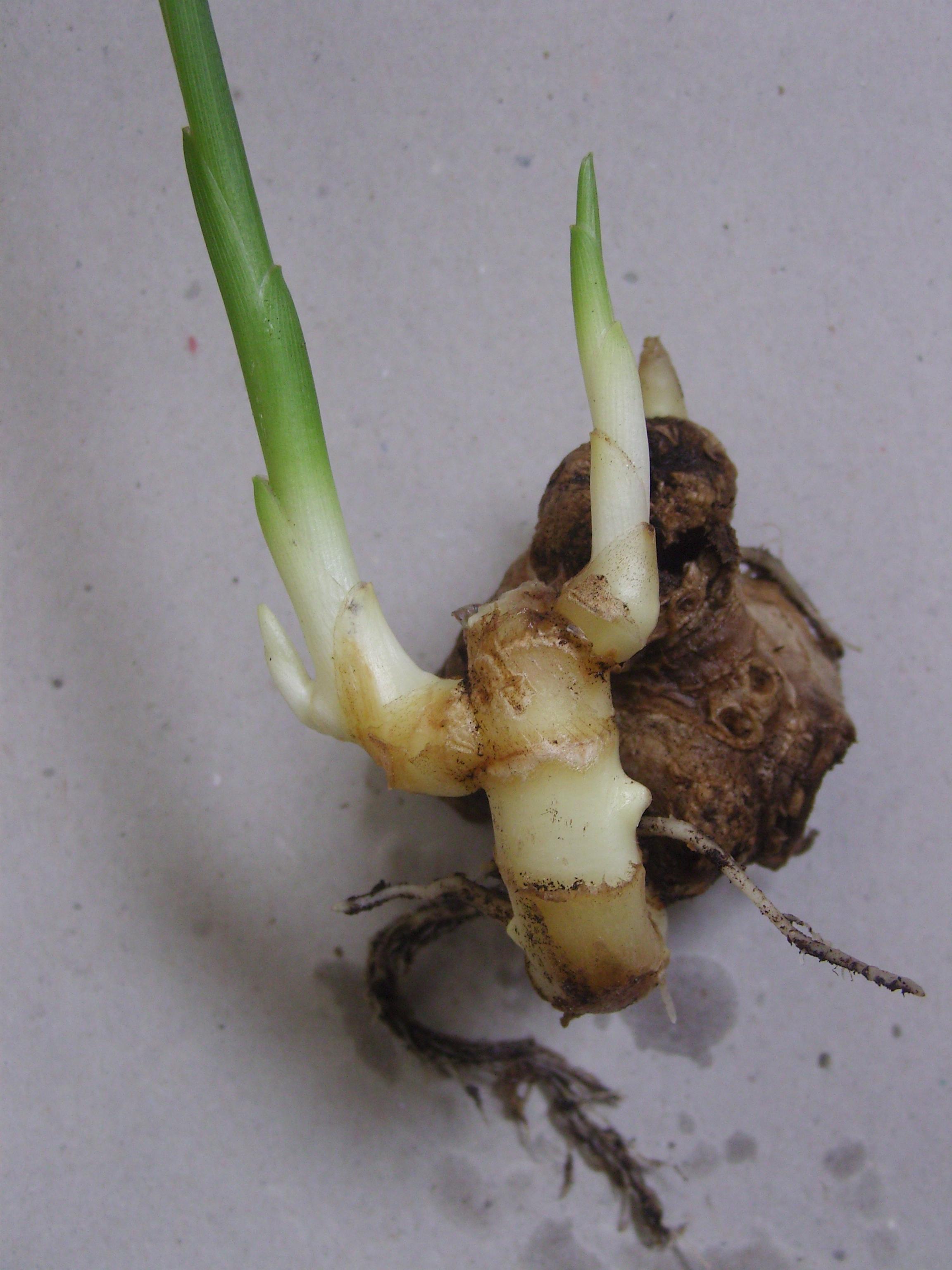 Image of garden ginger
