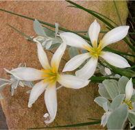 Image of autumn zephyrlily