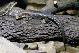 Image of Rough-scaled plated lizard
