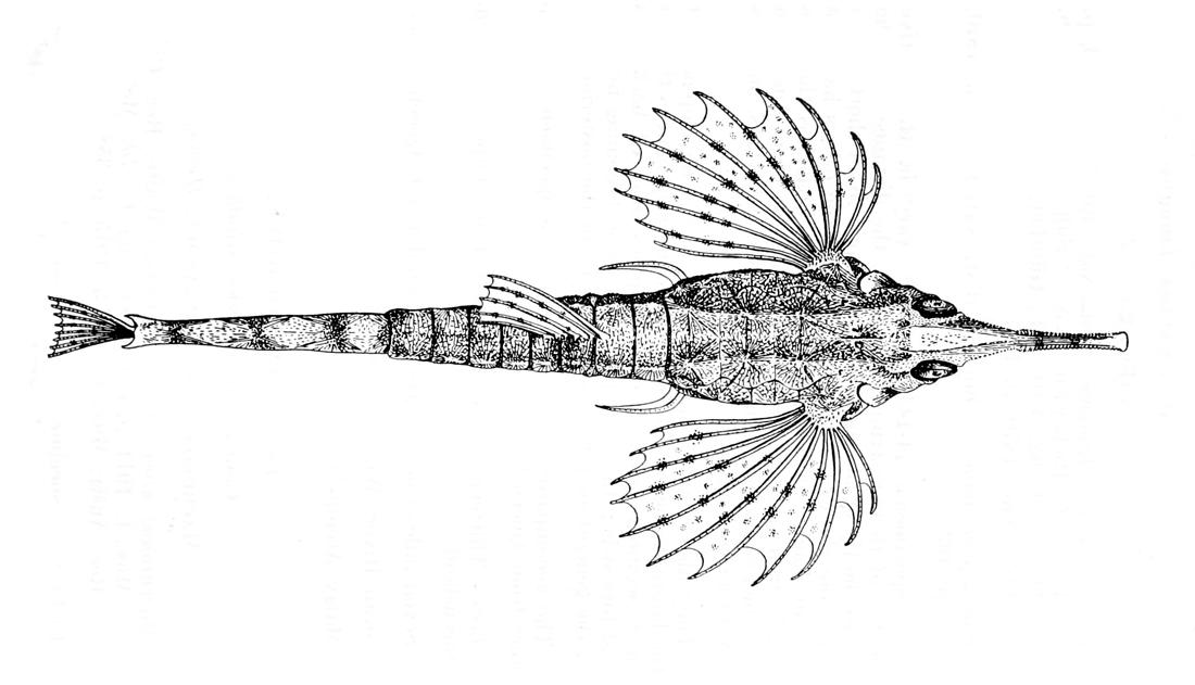 Image of Long-tailed Dragonfish