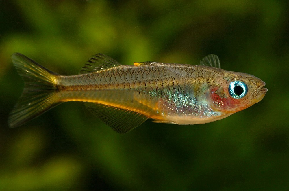 Image of Forktail Blue-eye