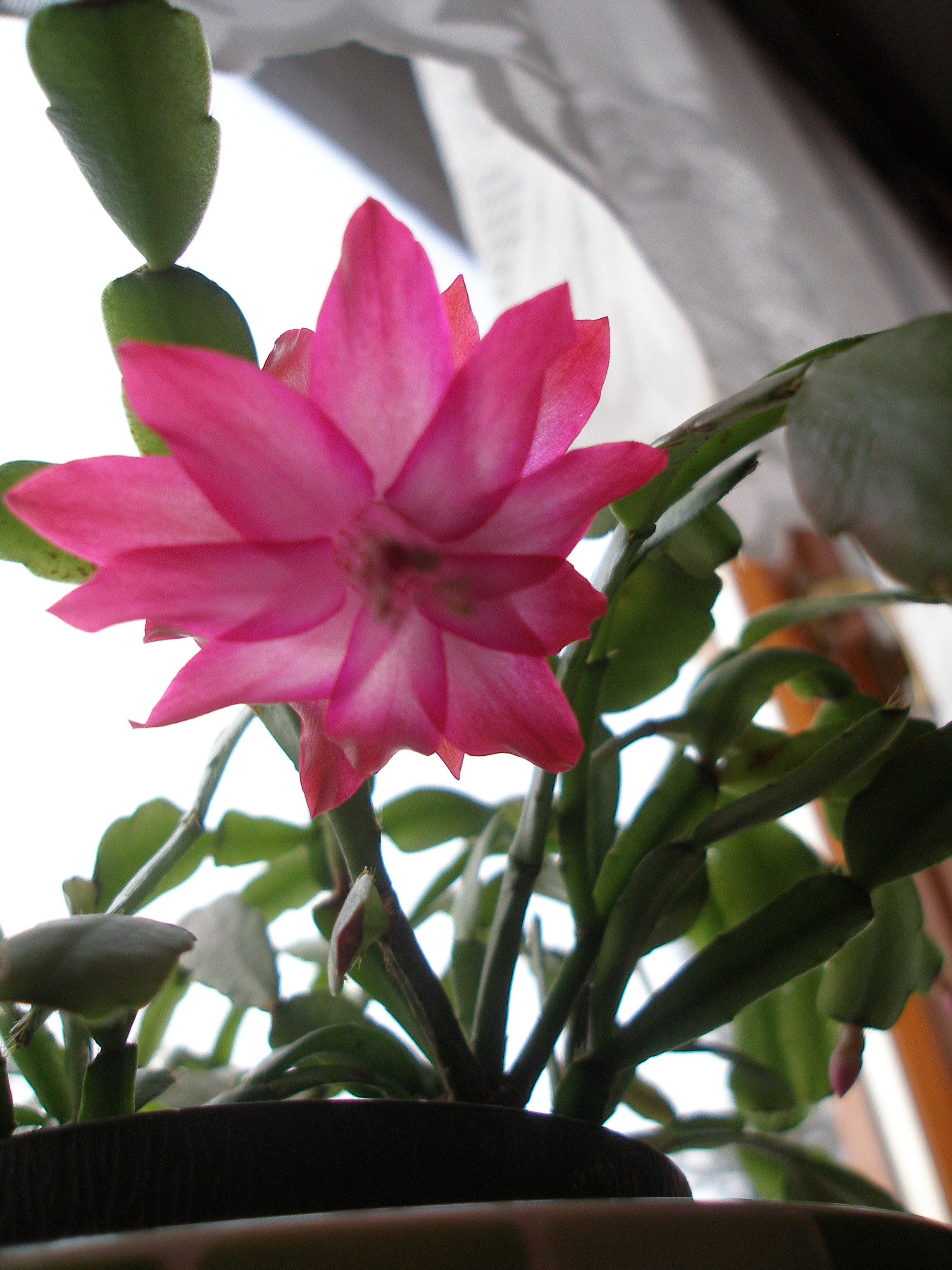 Image of false Christmas cactus