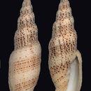 Image of <i>Domiporta gloriola</i> (Cernohorsky 1970)