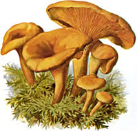 Image of <i>Hygrophoropsis aurantiaca</i> (Wulfen) Maire 1921