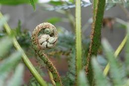 Image of <i>Cyathea capensis</i> Sm.