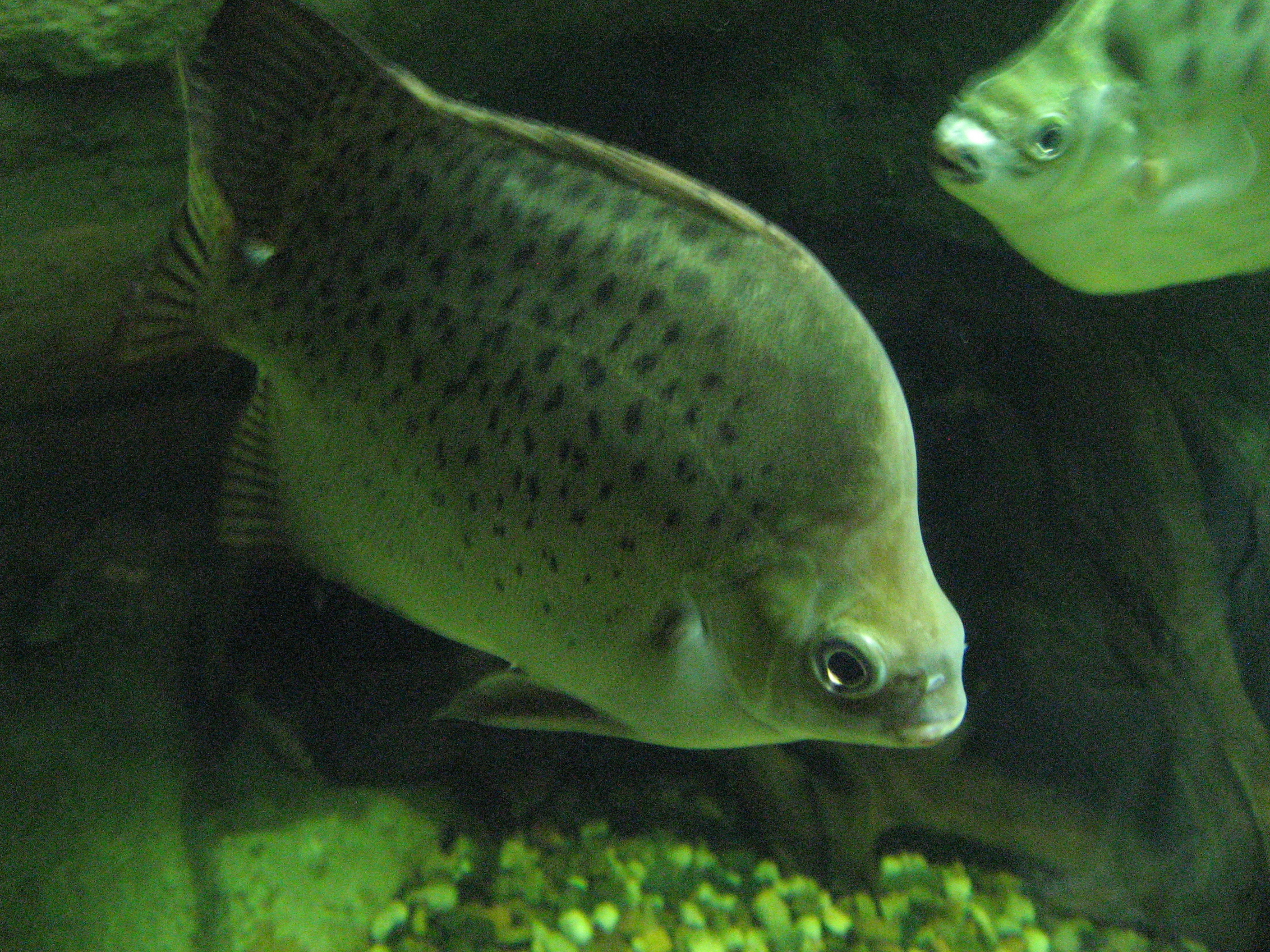 Image of Argus Fish