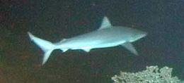 Image of Bignose Shark