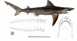Image of Ganges Shark