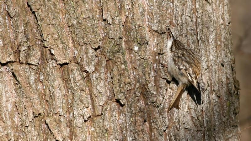 Image of Eurasian tree creeper