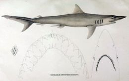 Image of Hardnose Shark