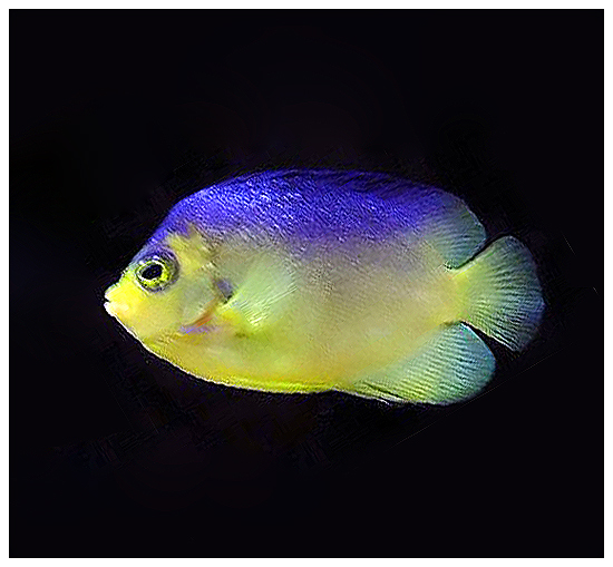 Image of Cocos-Keeling Angelfish