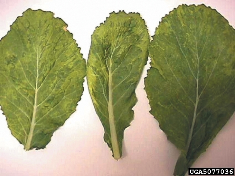 Image of Turnip mosaic virus