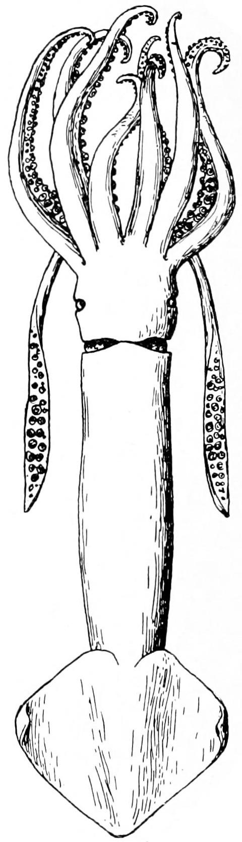 Image of Northern shortfin squid
