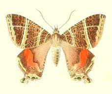 Image of <i>Homidiana canace</i> Hopffer 1856
