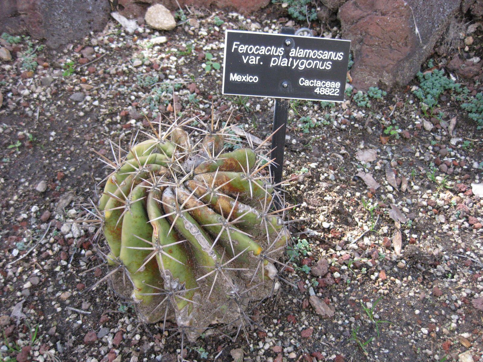 Image of <i>Ferocactus alamosanus</i> (Britton & Rose) Britton & Rose