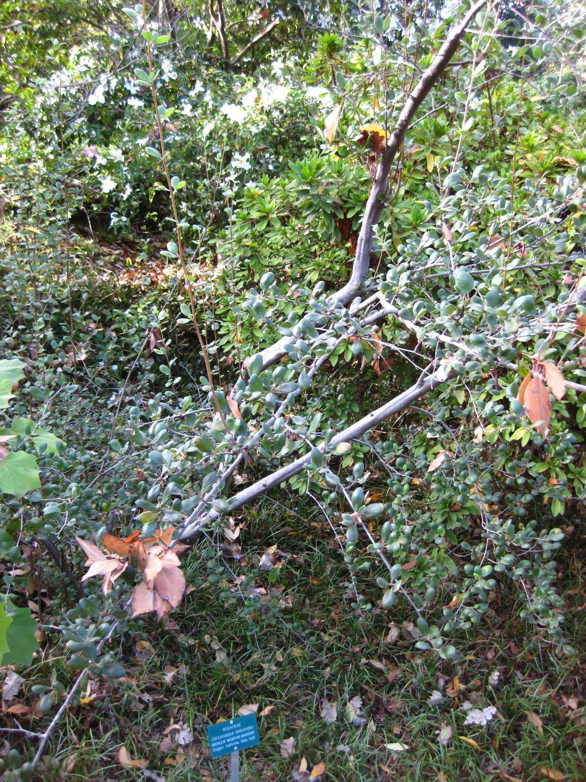 Image of <i>Cercocarpus betuloides</i>