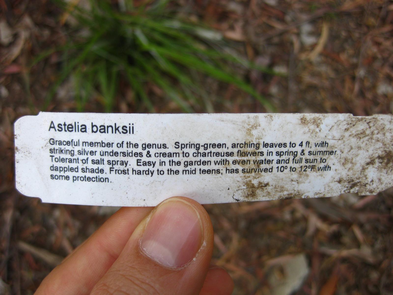 Image of <i>Astelia banksii</i> A. Cunn.