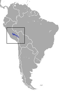 Image of Incan Caenolestid