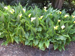 Image of calla lily