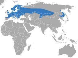 Image of european water shrew, northern water shrew, water shrew