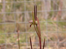 Image of Bird's-mouth orchid