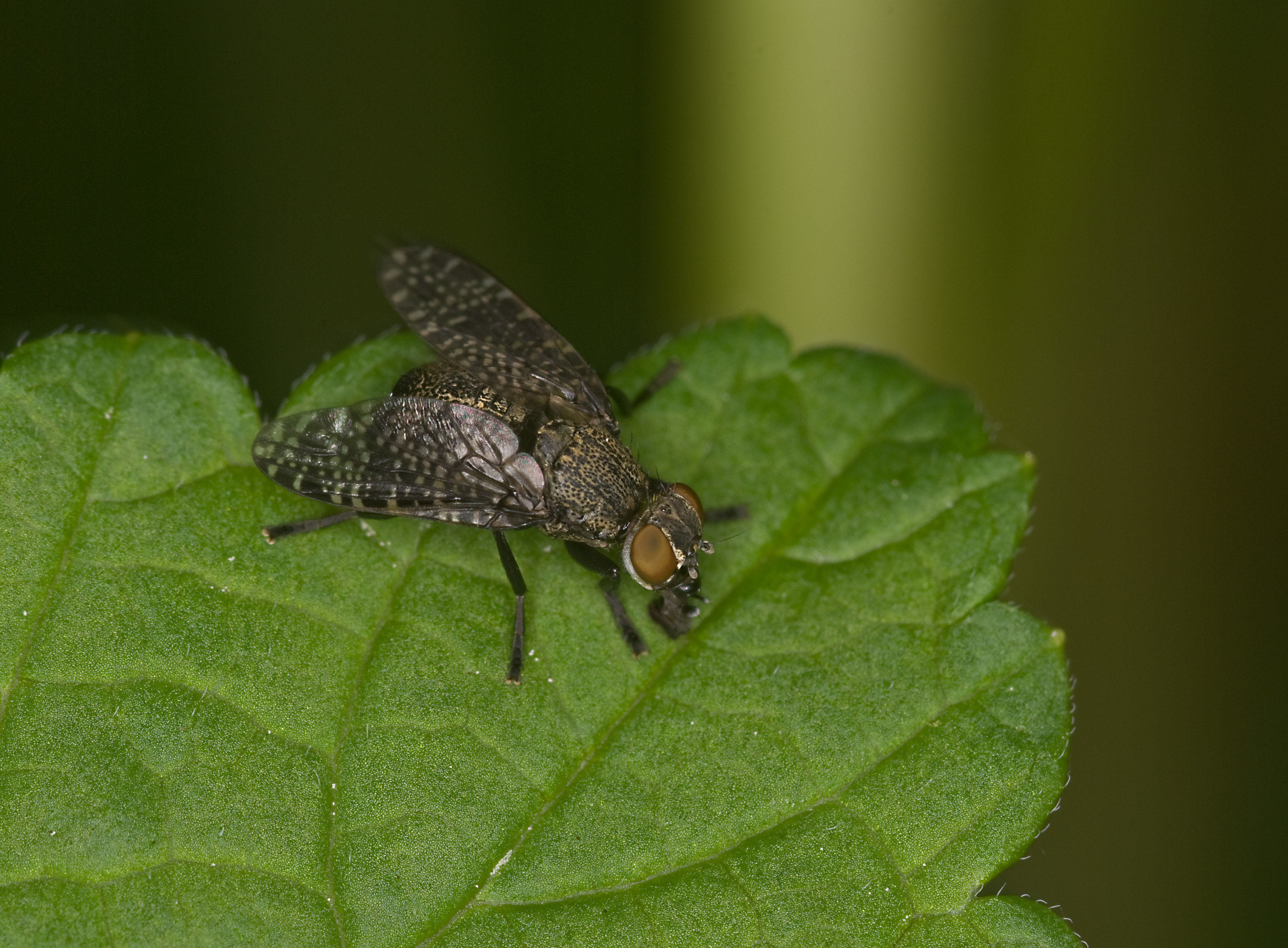 Image of Platystoma