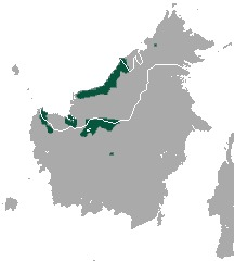 Image of Bornean Banded Langur
