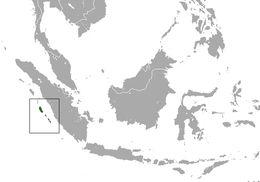 Image of Golden-bellied Mentawai Island Langur