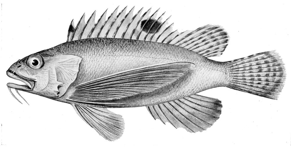Image of Bearded waspfish