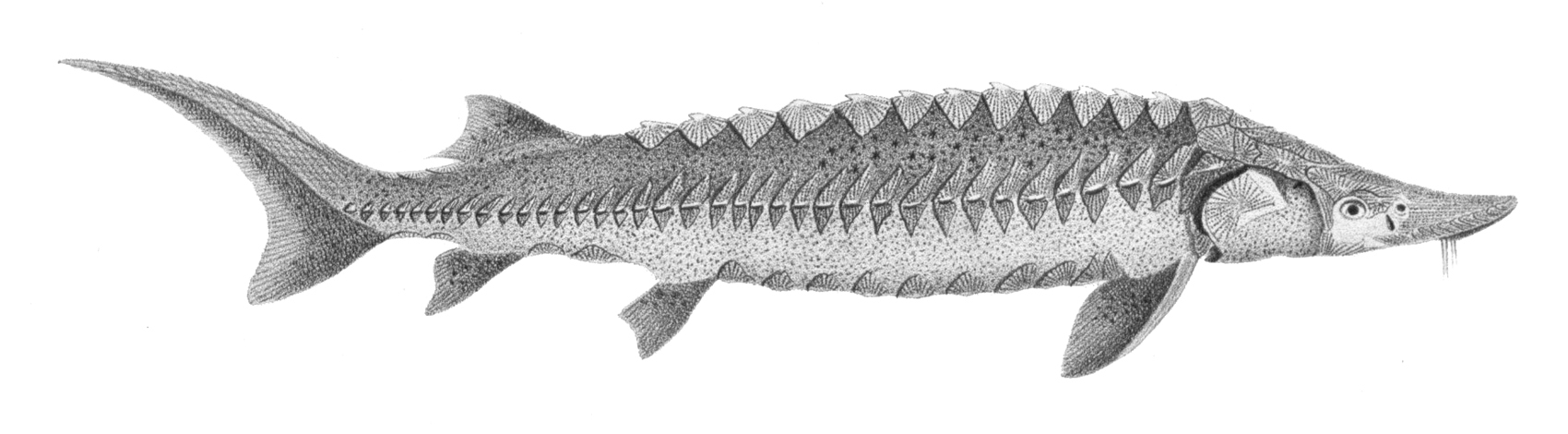 Image of Lake Sturgeon
