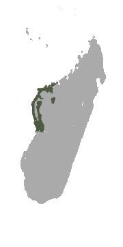 "<span class=""translation_missing"" title=""translation missing: en.medium.untitled.map_image_of, page_name: Audebert&#39;s Brown Lemur"">Map Image Of</span>"