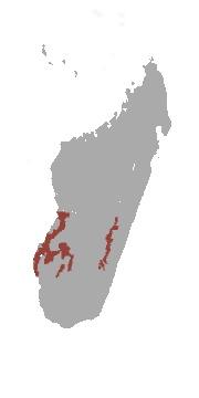 "<span class=""translation_missing"" title=""translation missing: en.medium.untitled.map_image_of, page_name: Bennett&#39;s brown lemur"">Map Image Of</span>"