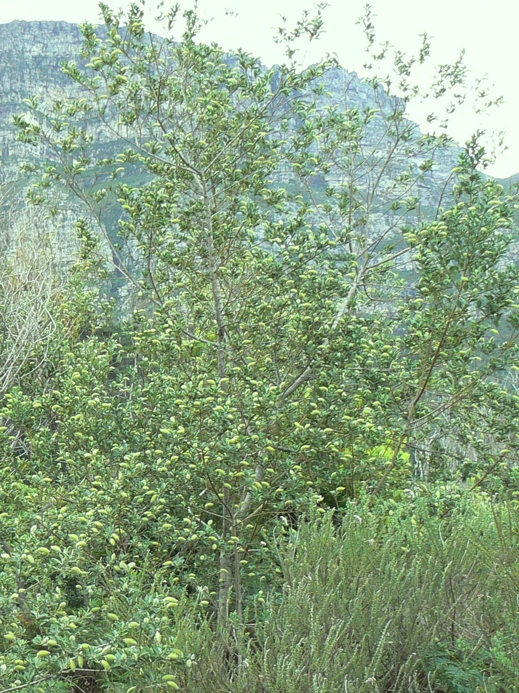 Image of Sweetpea bush