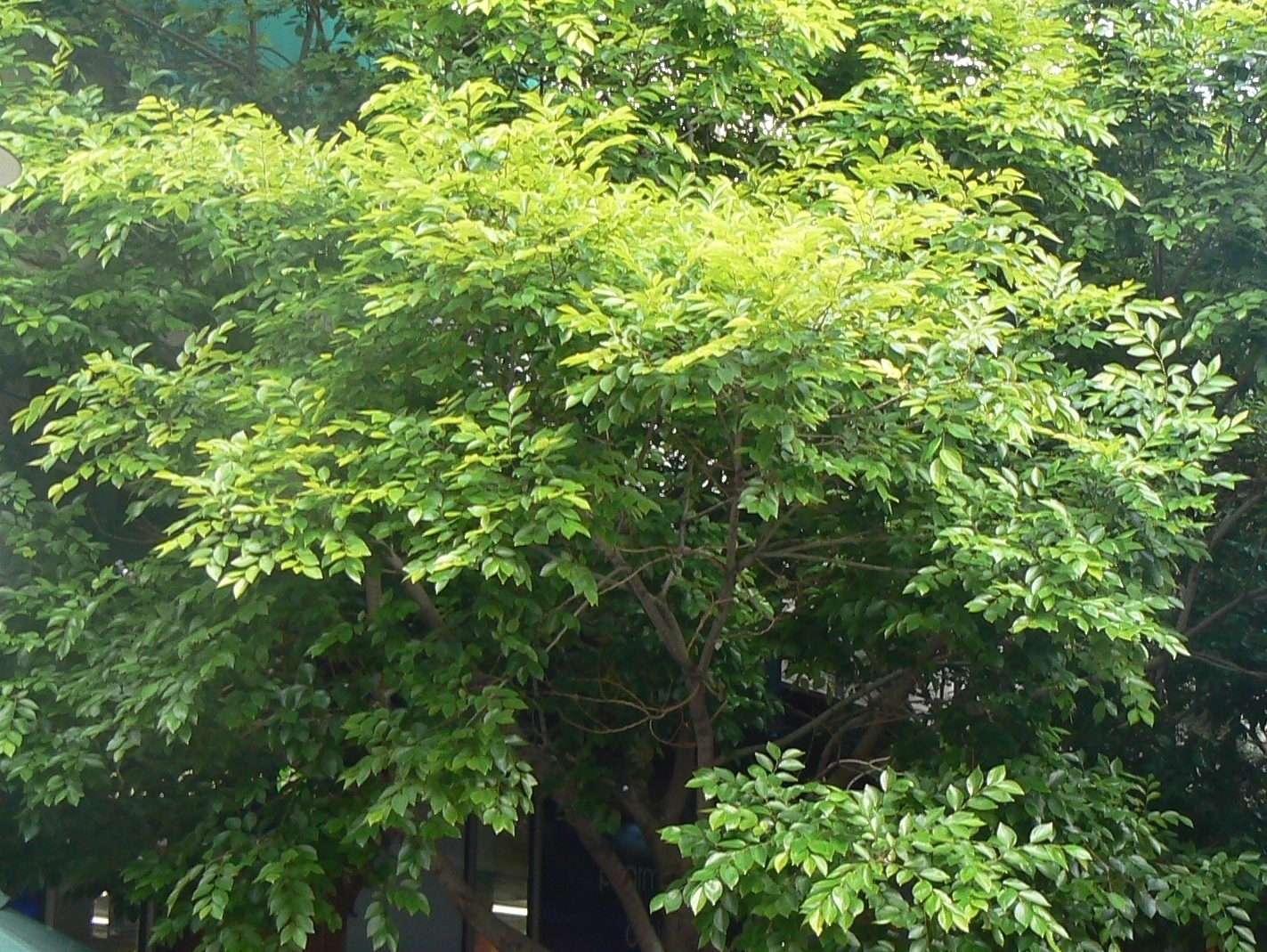 Image of Common celtis