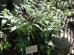 Image of <i>Tectaria gemmifera</i> (Fée) Alston