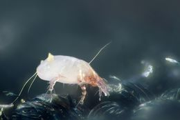 Image of European house dust mite